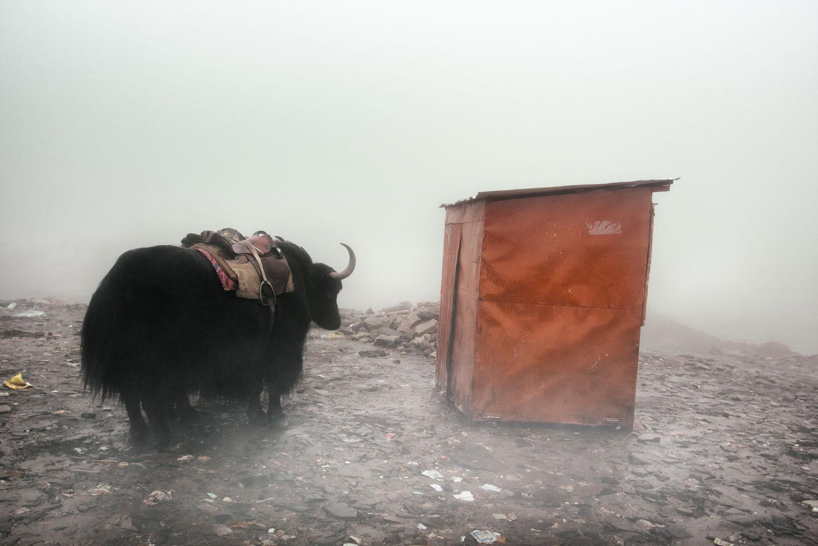 Ladak_bison